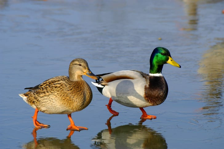 Two ducks walking on a beach.