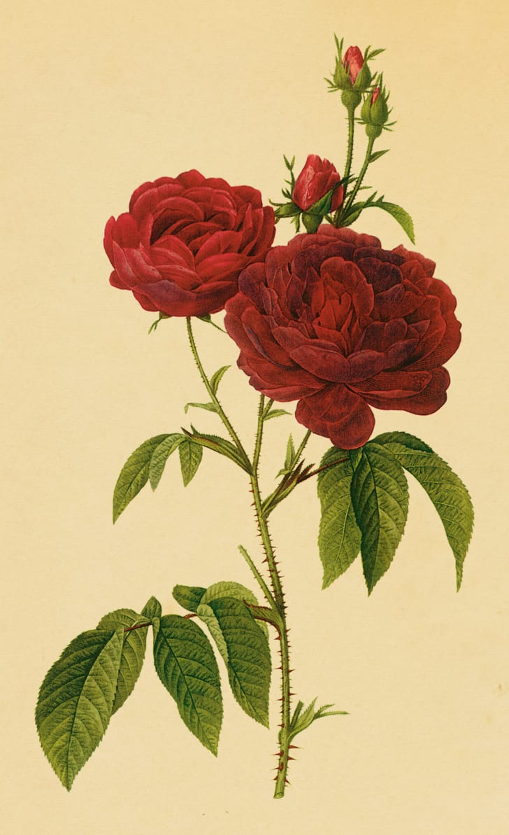 illustration of red roses