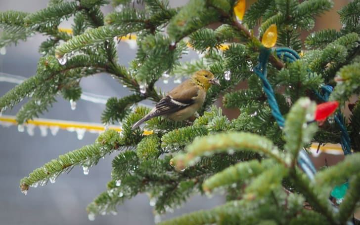 A canary sits in a Christmas tree