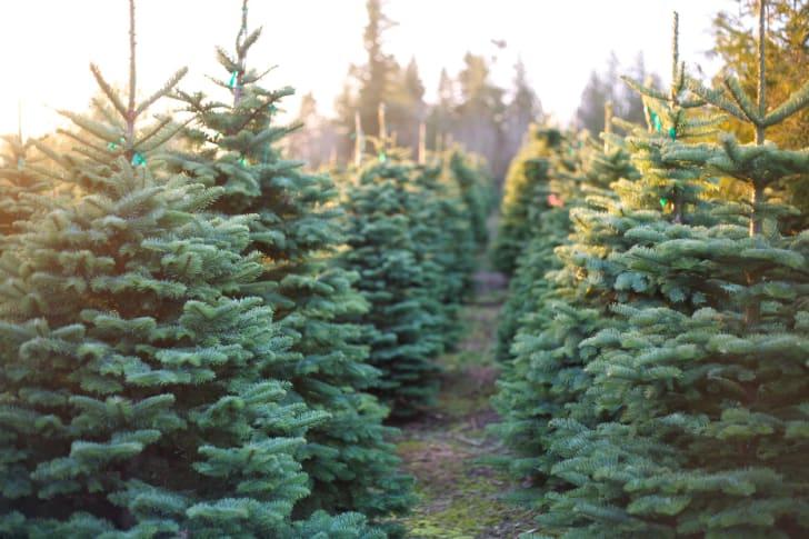 Christmas trees at a Christmas tree farm