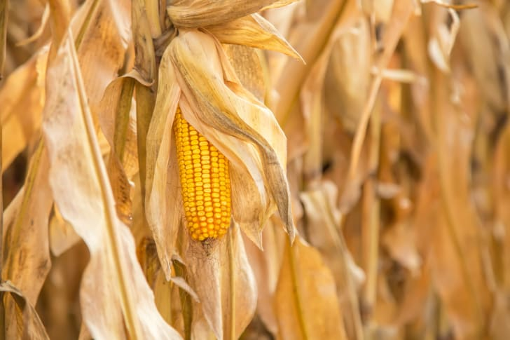 Ear of Yellow Corn In Field Ready for Harvest