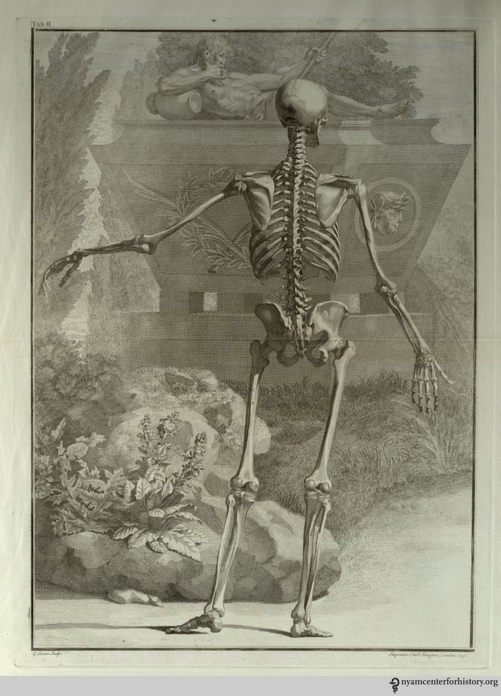 Illustration from Bernhard Siegfried Albinus's Tabulae Sceleti