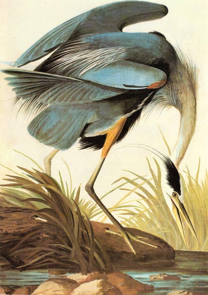 A great blue heron as drawn by John James Audubon.