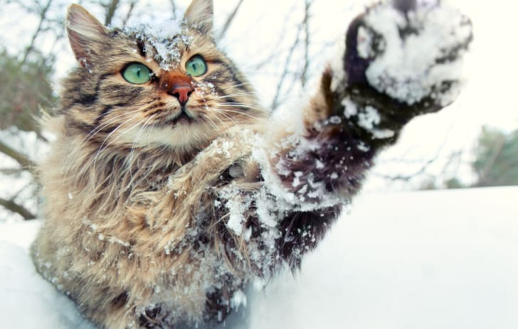 A long-haired tabby cat playing in the snow.