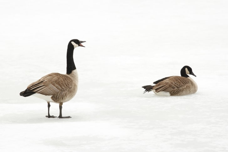 Two Canadian geese on a frozen pond.