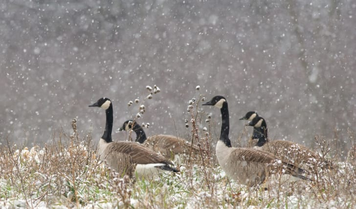Five Canadian geese in a snow storm.