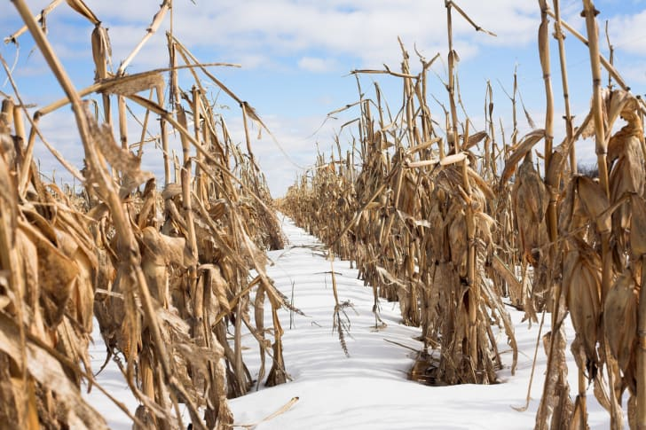 Brown stalks of corn in the snow.