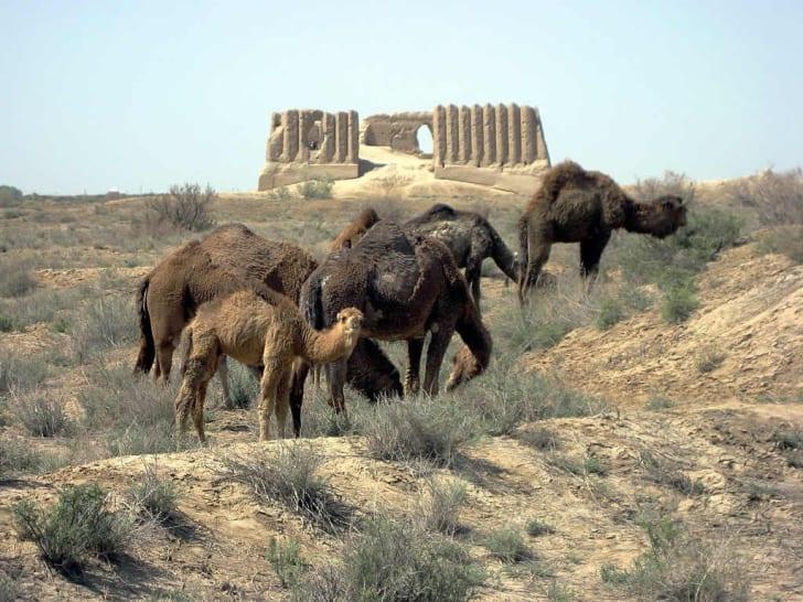 Camels grazing near ruins in Merv, Turkmenistan.