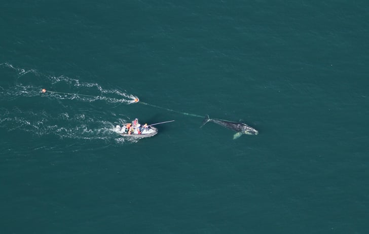 Aerial view of North Atlantic right whale that a team of state and federal biologists assisted in disentangling off Daytona Beach, Florida.