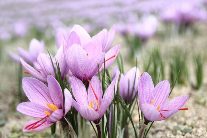 Saffron crocuses growing