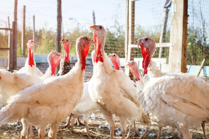 Domesticated turkeys on a farm