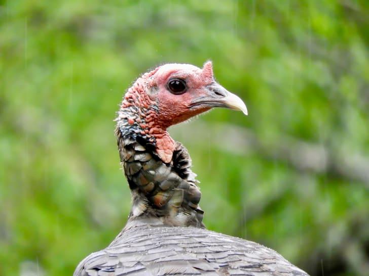 Close up shot of a wild turkey