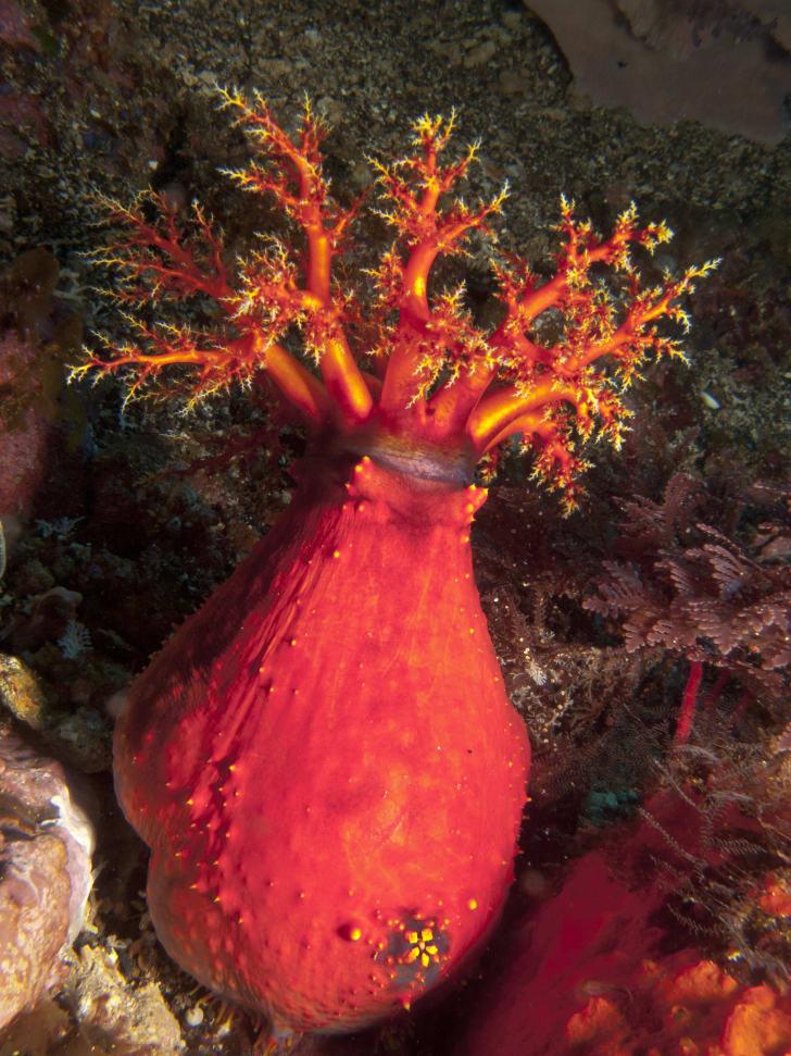 Sea apple