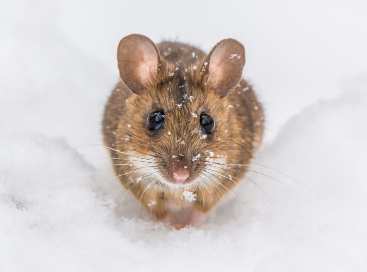 An adorable mouse in the snow.