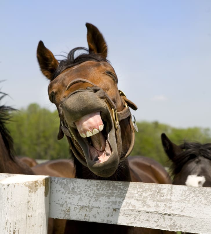 Horse with its mouth open.