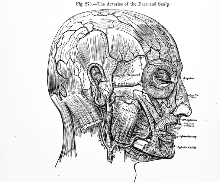historical medical illustration of head and scalp arteries