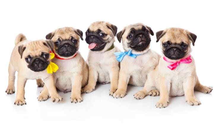 Grumble of pugs