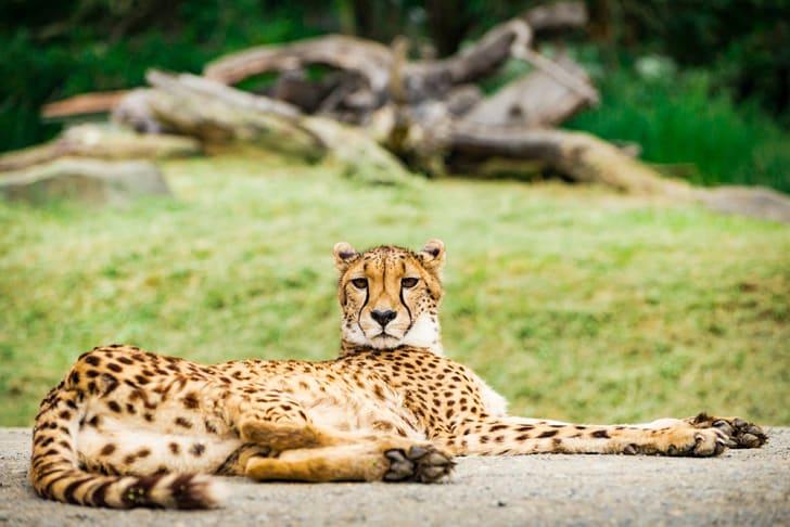 cheetah relaxes at oregon's wildlife safari