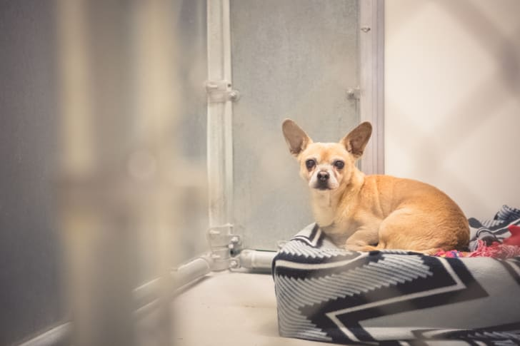 A chihuahua sitting on a cushion in an animal shelter.