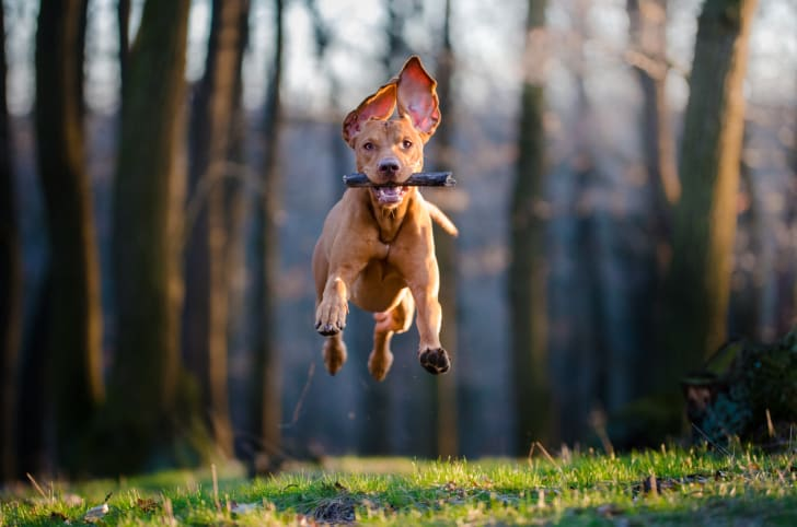 A dog running with a stick in its mouth; all four feet are off the ground.