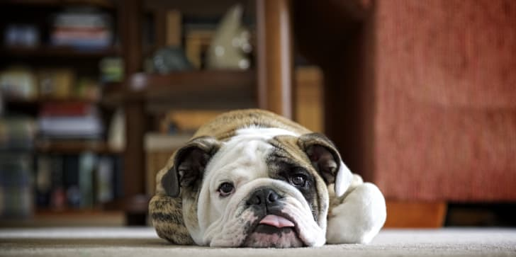 A lazy bulldog lying on a rug.