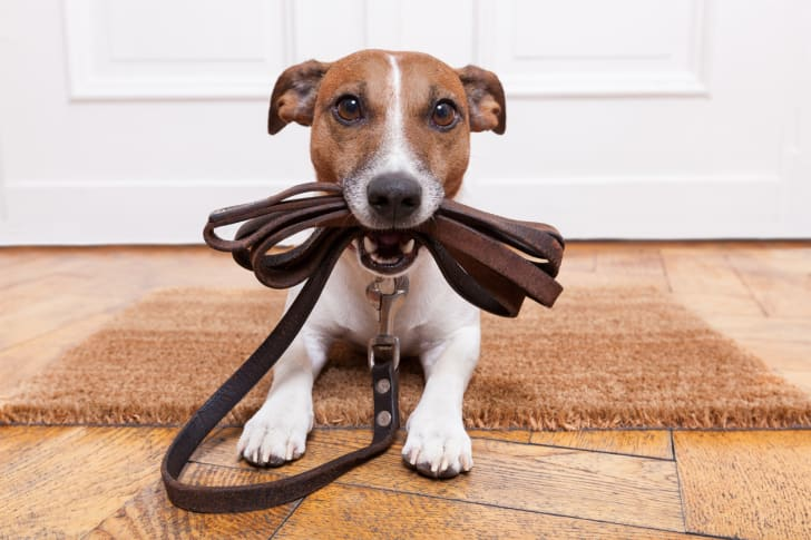 A small dog holding a leash in its mouth.