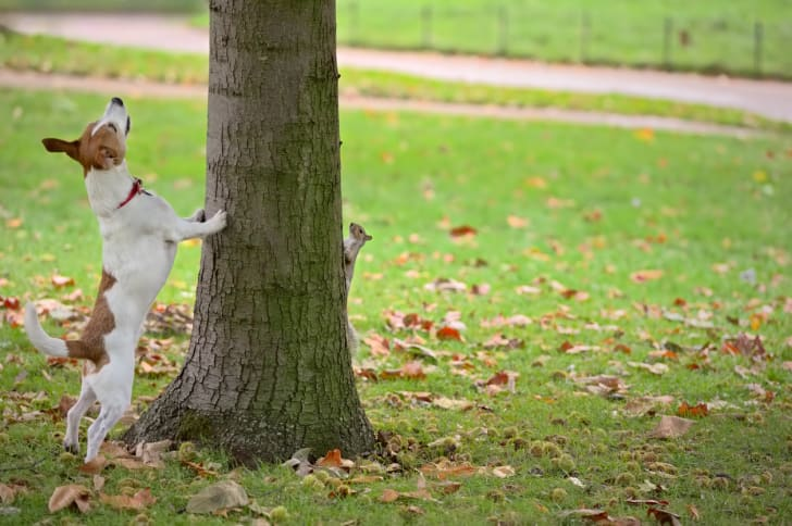 A dog looking for a squirrel up in a tree, but the squirrel is on the other side of the tree.