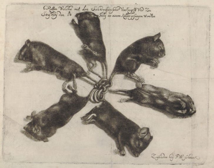 1683 rat king
