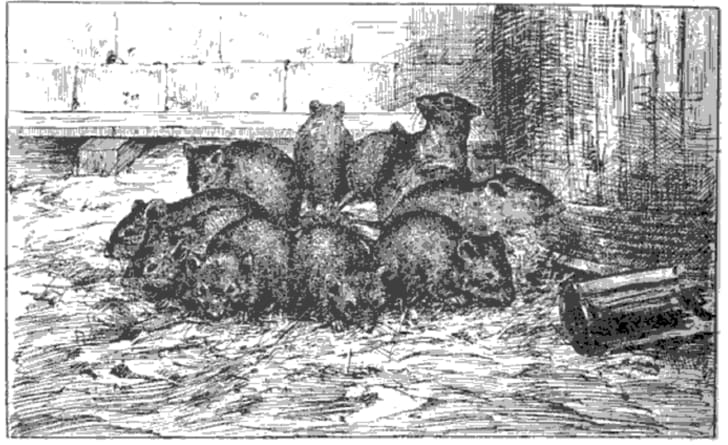 An illustration of a Rat King from Henri Coupin's 1903 book Les Animaux Excentriques