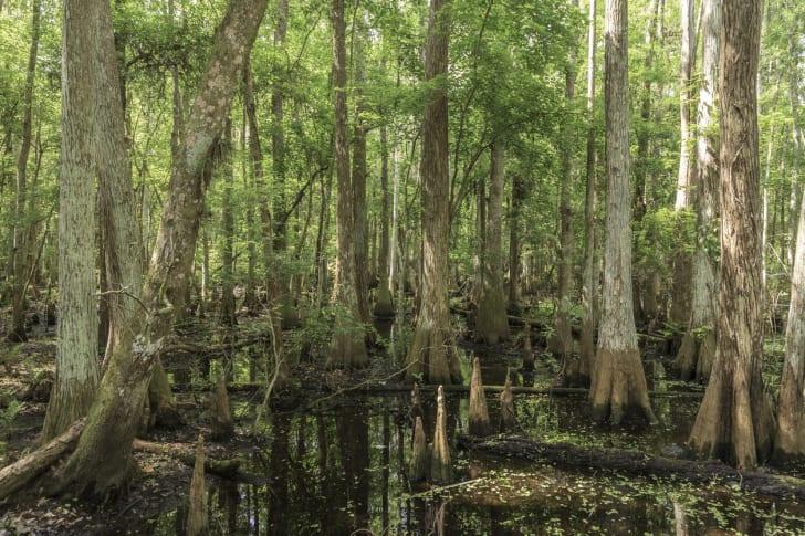 A cypress swamp.