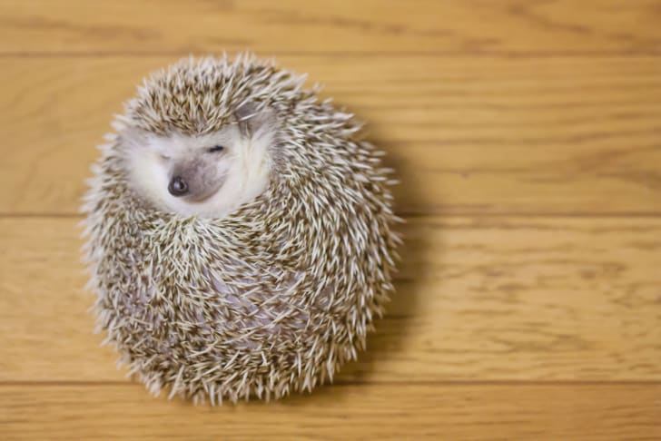 Photo of a cute hedgehog