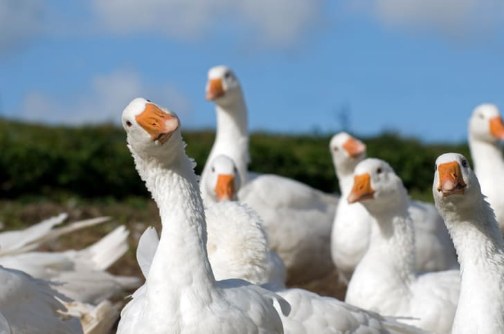 A group of white geese on a blue background