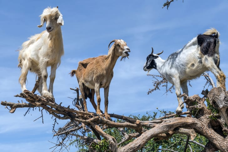 Three goats standing in a tree.