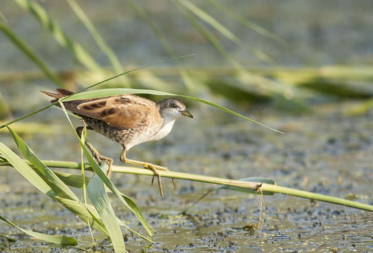 A marsh crake sitting on a branch in the wetlands.