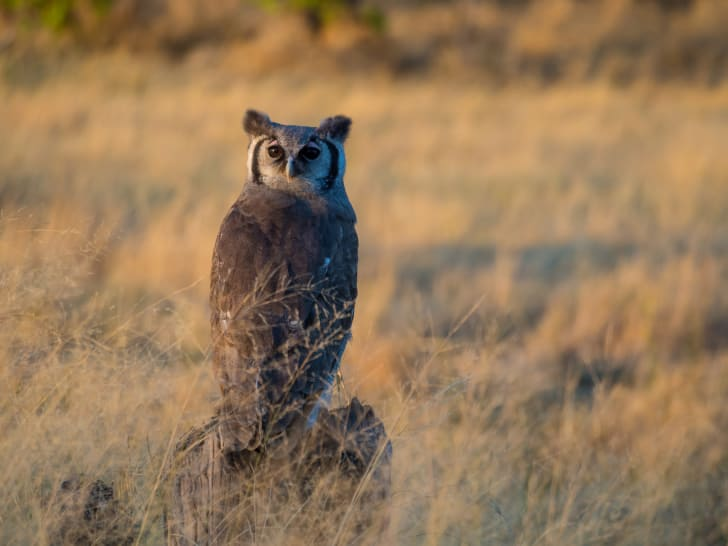 A Giant Eagle Owl perched on a rock.