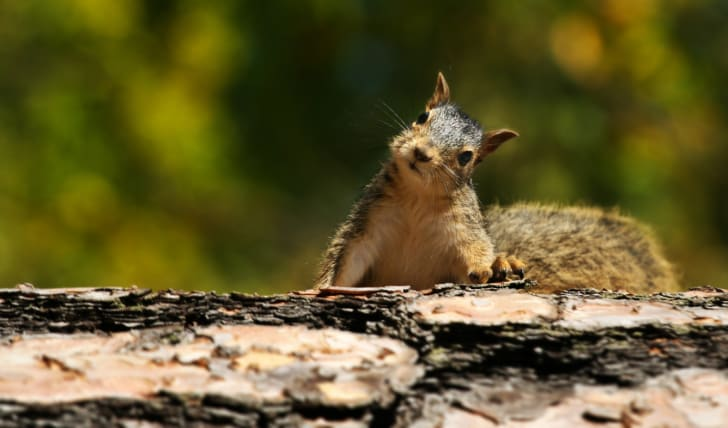 A squirrel on a log with its head cocked to the side, as though confused.