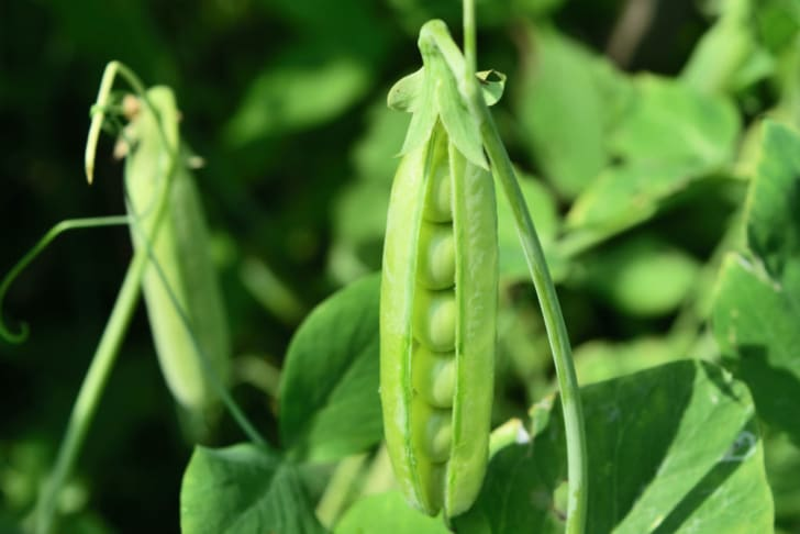 A pea pod sprouts up