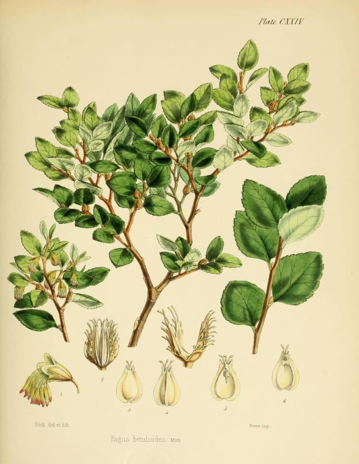 Botanical illustration in Joseph Dalton Hooker's 'Flora Antarctica'