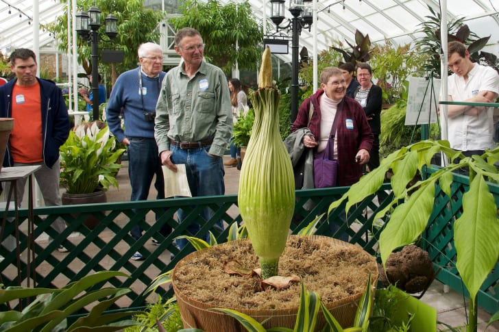 A corpse flower before its bloom phase