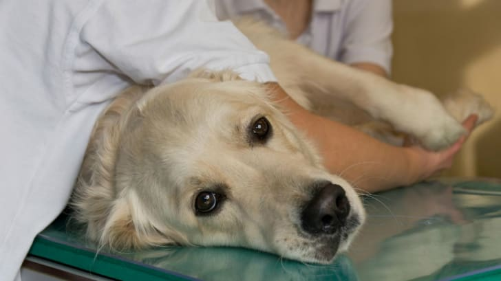 A dog lies on a veterinarian's table.