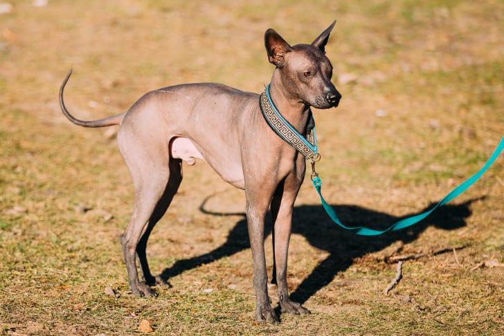 Mexican Hairless Dog Xoloitzcuintli
