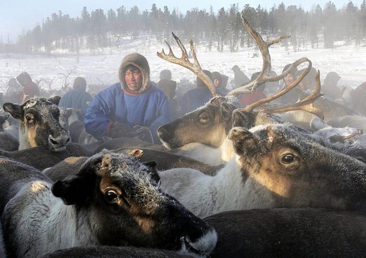A herdsman in Siberia handles his reindeer.