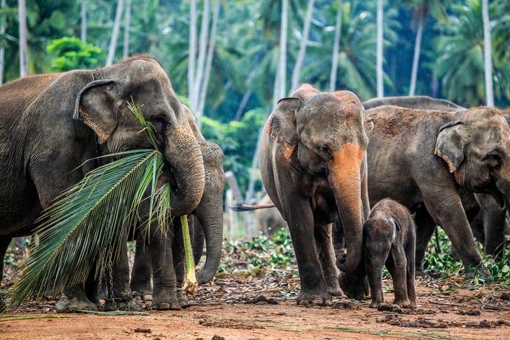 Elephants eating greenery in Sri Lanka.