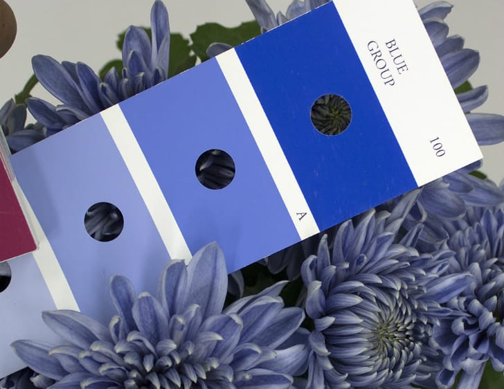 Blue color swatches among blue chrysanthemum flowers.
