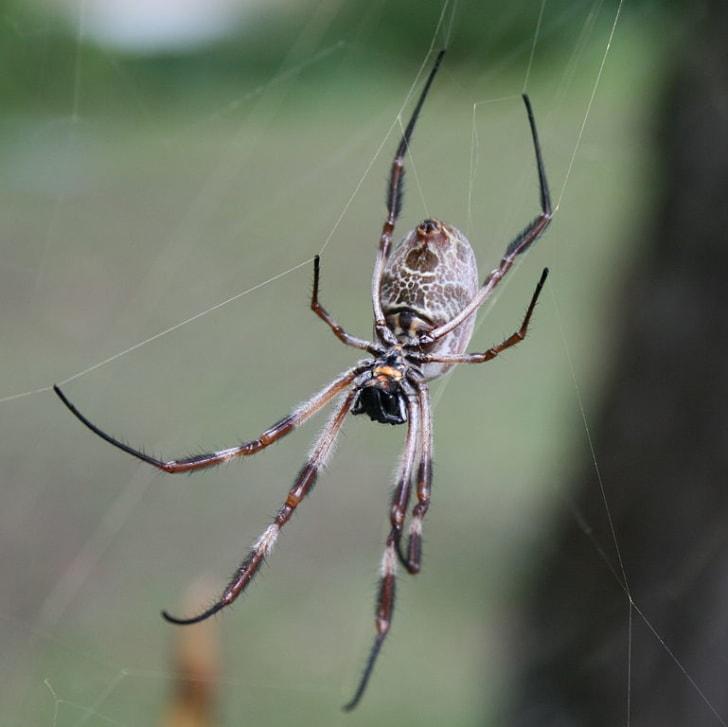 Golden Orb spider in an Australian garden
