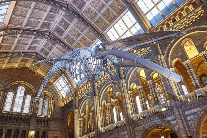 """""""Hope,"""" a blue whale skeleton suspended from the ceiling of Hintze Hall in London's Natural History Museum."""