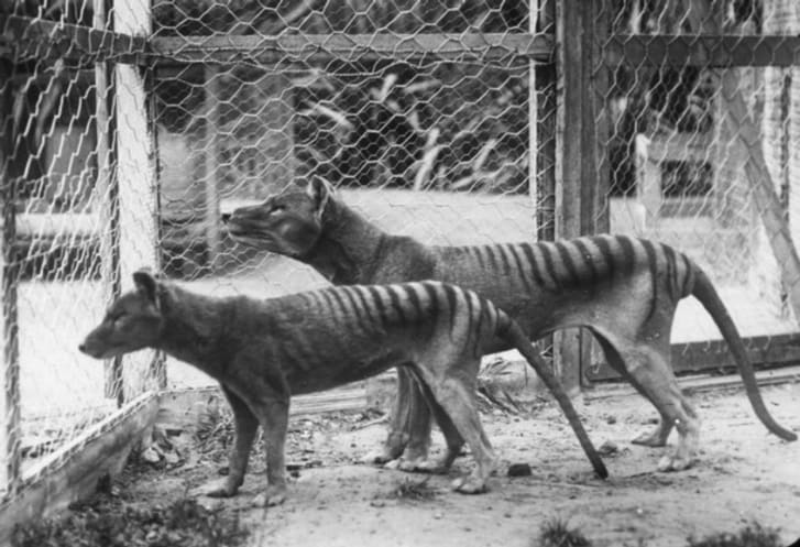 A Tasmanian tiger duo