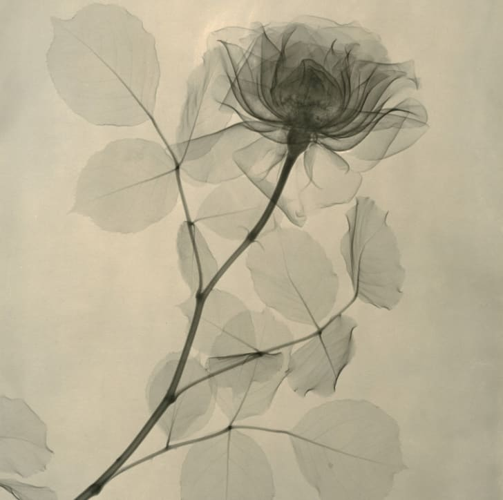 X-ray image of a rose.