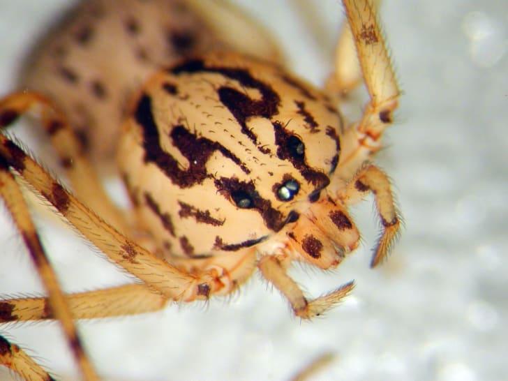 Scytodes thoracica spider