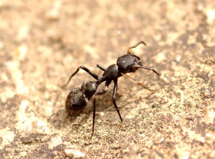 Myrmarachne ant spider